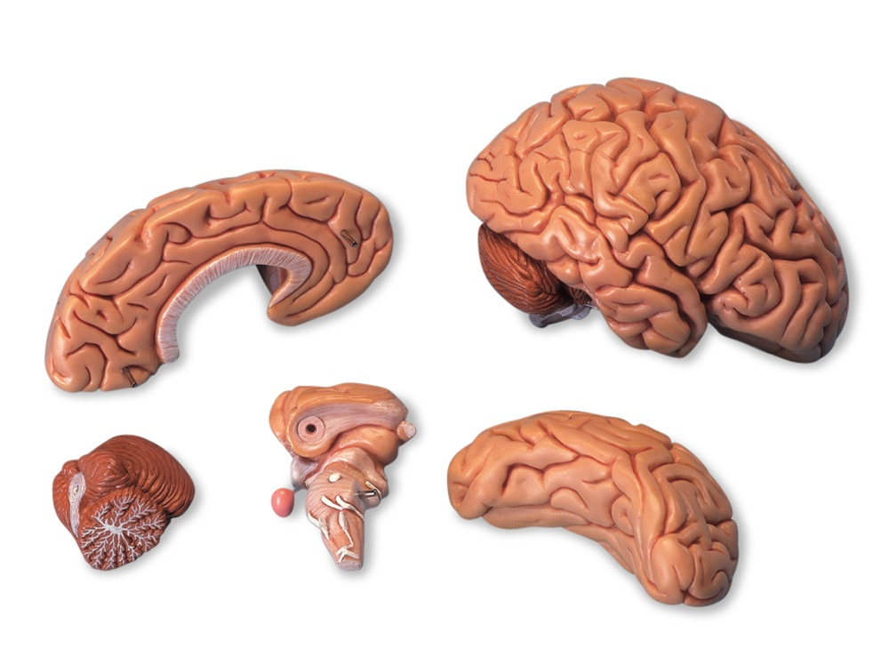 Classic Brain Model 5 Part Anatomy Models And Anatomical Charts