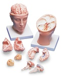 Brain Model with Arteries on Base of Head, 8 part