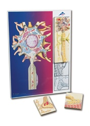 """Physiology of Nerves"" Series, 5 magnetic models on illustrated metal board"