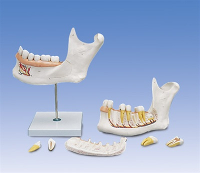 Half Lower Jaw, 3 times full-size, 6 part - Anatomy Models and ...