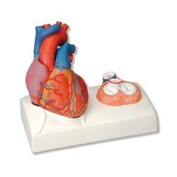 Heart Model Natural Size