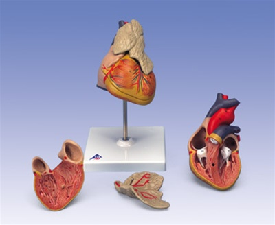 Classic Heart Anatomy With Thymus 3 Part Model Anatomy Models And