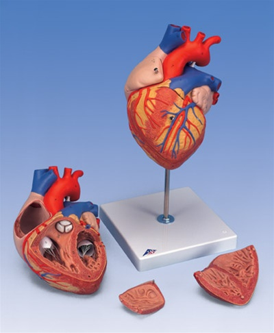 Heart Anatomy, 2-times life size, 4 part model - Anatomy Models and ...