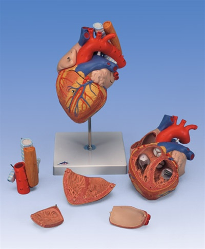Heart Anatomy With Esophagus And Trachea 2 Times Life Size 5 Part