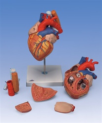 Heart Anatomy with Esophagus and Trachea, 2 times life size, 5 part model