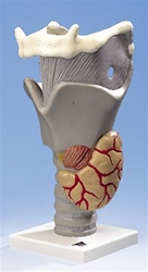 Functional Larynx, 2.5 times full-size