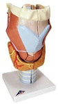 Larynx, 2 times full-size, 7 part
