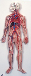 Anatomy of the Circulatory System Model