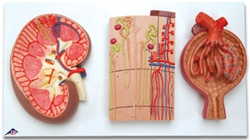 Kidney Section, Nephrons, Blood Vessels and Renal Corpuscle Model