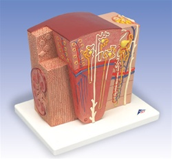3B MICROanatomy™ Kidney Model