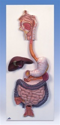 Digestive System, 3 part