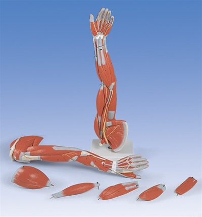 Muscle Arm, 6 part, 3/4 Life Size - Anatomy Models and Anatomical Charts