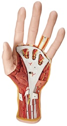 Internal Hand Structure Model, 3 part