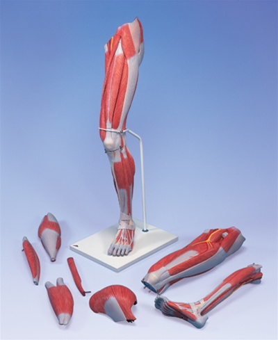 Deluxe Muscle Leg Model, 7 part, Life Size - Anatomy Models and ...