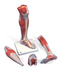 Lower Muscle Leg Model with detachable Knee, 3 part, Life Size
