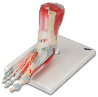 Foot Skeleton Model With Ligaments And Muscles Anatomy Models And