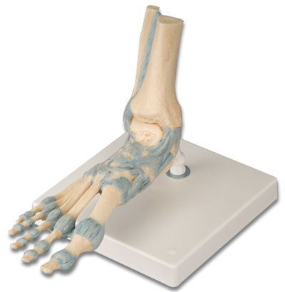 Foot Skeleton Model with Ligaments - Anatomy Models and Anatomical ...