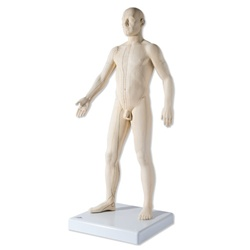 High Quality Acupuncture Model, 28 inches