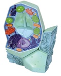 Plant Cell Model, magnified 500,000-1,000,000 times