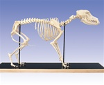 Anatomical Dog Skeleton model (Canis domesticus)