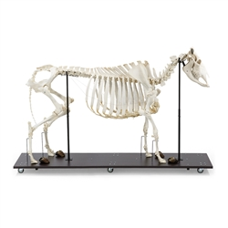 Anatomical Cow Skeleton Model (Bos Taurus)