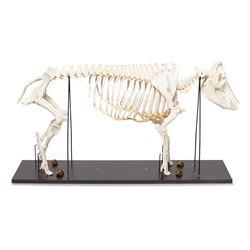 Anatomical Pig Skeleton Model (Sus scrofa)