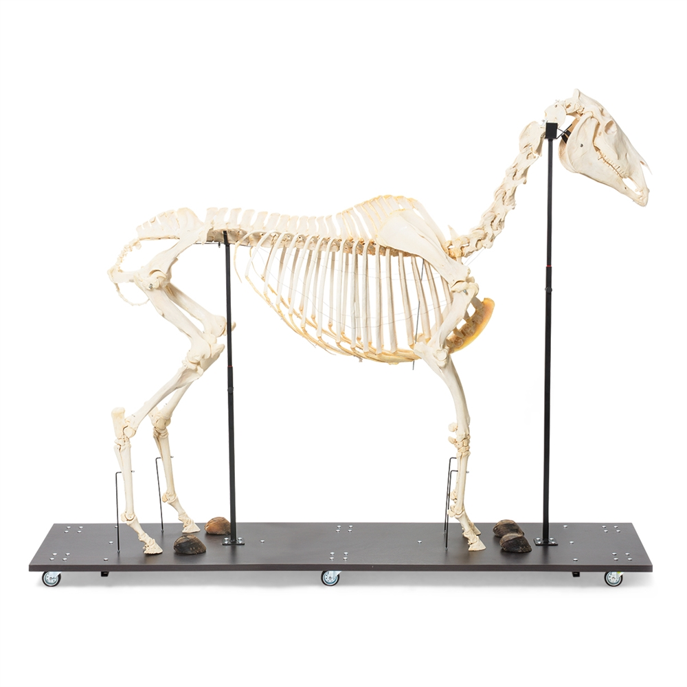 Anatomical Horse Skeleton Model (Equus caballus) - Anatomy Models ...