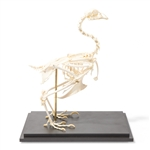 Chicken anatomical skeleton model(Gallus gallus)