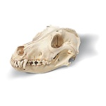 Dog Skull (Canis domesticus)