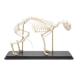 Anatomical Cat Skeleton Model (Felis Catus)