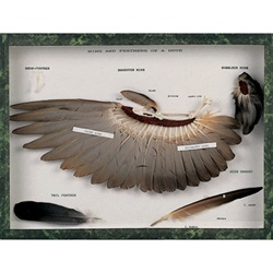 Wing and feathers of a dove (Columba palumbus)