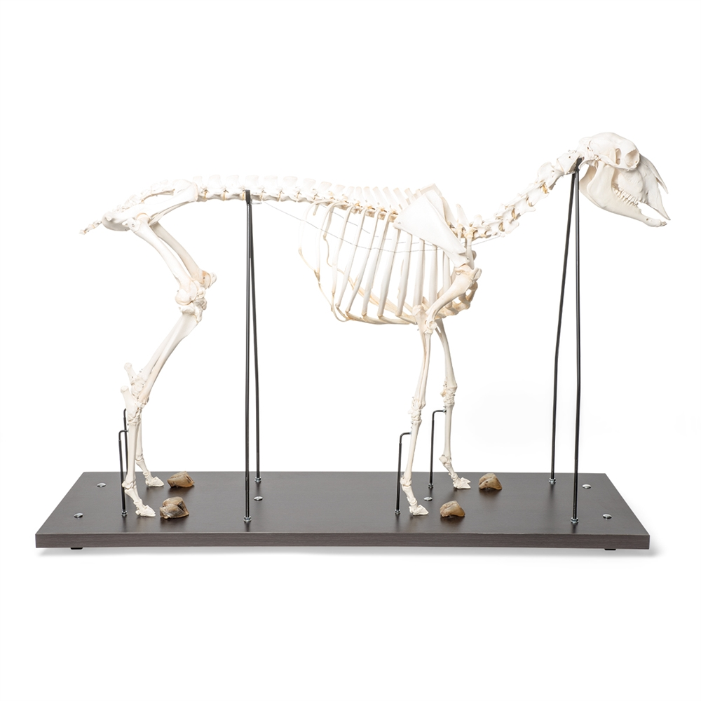 Anatomical Sheep Skeleton Model Ovis Aries Anatomy Models And
