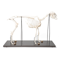 Anatomical Sheep Skeleton Model (Ovis aries)