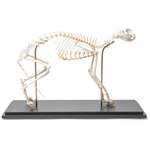 Cat Skeleton (Felis catus)