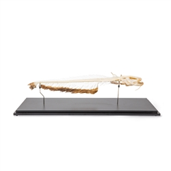 African Catfish Skeleton