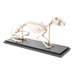 Anatomical Hare skeleton model (Lepus europaeus)