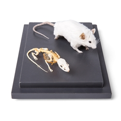 Mouse Skeleton and Stuffed Mouse
