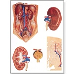 The Kidney Wall Chart