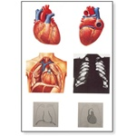 Heart I Anatomy Chart