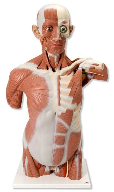 Life size Muscle Torso, 27 part - Anatomical Models & Anatomical Charts