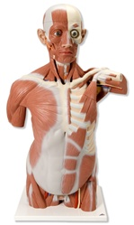 Life size Muscle Torso Model, 27 part