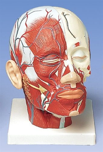 Head Musculature additionally with Blood Vessels Model - Anatomy ...