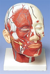 Head Musculature additionally with Blood Vessels Model