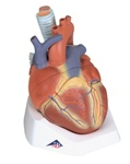 Heart Anatomy Model, 7 part model -- esophagus, trachea, SVC, aorta, front heart wall, upper half of heart