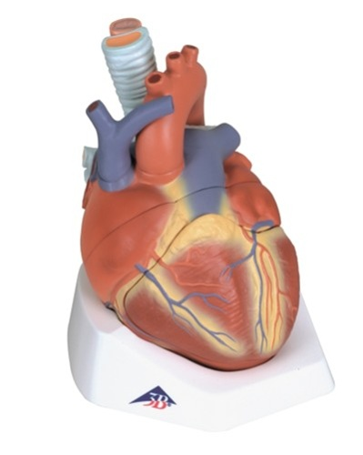 Heart Anatomy Model, 7 part model -- esophagus, trachea, SVC, aorta ...