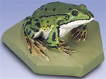 Edible Frog Replica, male (Rana esculenta)