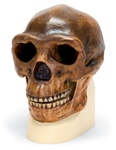 Anthropological skull – Sinanthropus