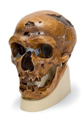 Anthropological skull – La Chapelle-aux-Saints