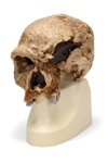 Anthropological skull – Steinheim