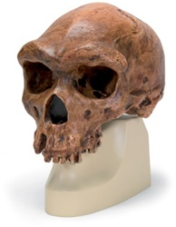 Anthropological skull – Broken Hill or Kabwe